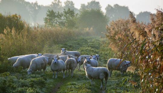 vloeivelden schapen - Visit Hardenberg